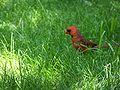 Red cardinal again.jpg