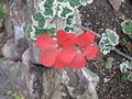 Red flowers 2067 (498292746).jpg
