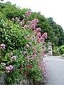 Red valerian (Centranthus ruber) - geograph.org.uk - 196055.jpg