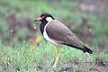 Red wattled lapwing 2.jpg