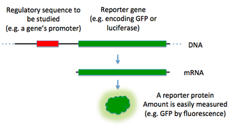 Reporter gene - A diagram of a how a reporter gene is used to study a regulatory sequence.