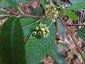 Rhamnus californica ssp californica.jpg