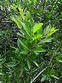 Rhamnus crenulata kz2.JPG