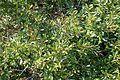 Rhamnus lycioides kz8.jpg