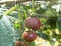 Rhamnus prinoides, rooi vrugte, Moreletakloof NR, a.jpg