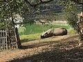 Rhinocer.jpg
