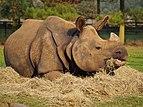 Rhinoceros unicornis 1.jpg