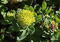 Rhodiola rosea (s2).JPG