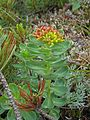Rhodiola rosea 02.jpg