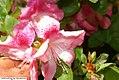 Rhododendron Bravura 1zz.jpg