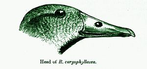Pink-headed duck - A defective illustration of the head which misses the nuchal crest.
