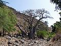 Ribeira Grande de Santiago-Baobabs (4).jpg