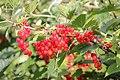 Ribes rubrum (red) Hedemora 01.jpg