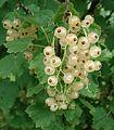 Ribes rubrum var. alba - Fruits.jpg