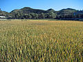 Rice Field near Wonsan (5065739079).jpg