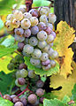 Riesling Grapes with gray rot.jpg
