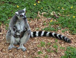 Ring tailed lemur and twins