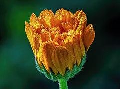 Ringelblume Wassertropfen-20200619-RM-080740.jpg