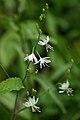 Rispige Graslilie, Anthericum ramosum 1.jpg