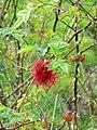 Robins Pin Cushion (Diplolepis rosae) - geograph.org.uk - 1479255.jpg