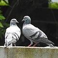 Rock Pigeon (Columba livia) from Madayipara DSCN2191.jpg