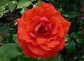 Rosa 'Kanegem' J1.jpg