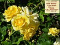 "Rosa ""Gold Bunny"", ""Gold Badge"" o MEIgronuri. 03.jpg"