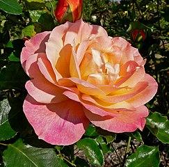 Rosa Girona 1.jpg