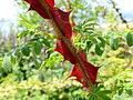 Rosa Sericea Subsp Omeiensis Forma Pteracantha- Winged Thorn Rose.jpg
