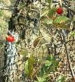 Rosa canina fruit (31).jpg