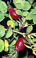 Rosa canina fruit (41).jpg