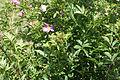 Rosa carolina - pasture rose 0056.jpg