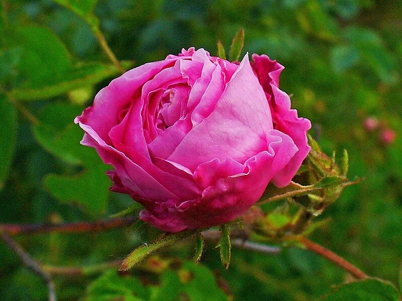 File:Rosa centifolia 002.JPG
