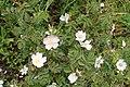Rosa pulverulenta kz06.jpg