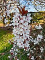 Rosales - Prunus cerasifera - 4.jpg