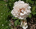 Rosarium Baden Rosa 'Dove' Austin 1984 02.jpg