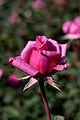 Rose, Shiun - Flickr - nekonomania (4).jpg