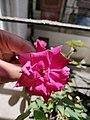 Rose Flower 3.jpg