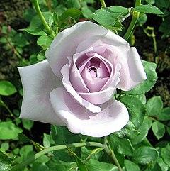 rose iga 83 münchen