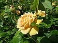 Rose garden, Forty Hall (35608330036).jpg