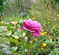 Rose rosa.jpg