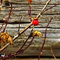 Rosehips at an old homestead (6531264951).jpg