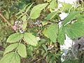 Rubus niveus-roadside-2-yercaud-salem-India.JPG