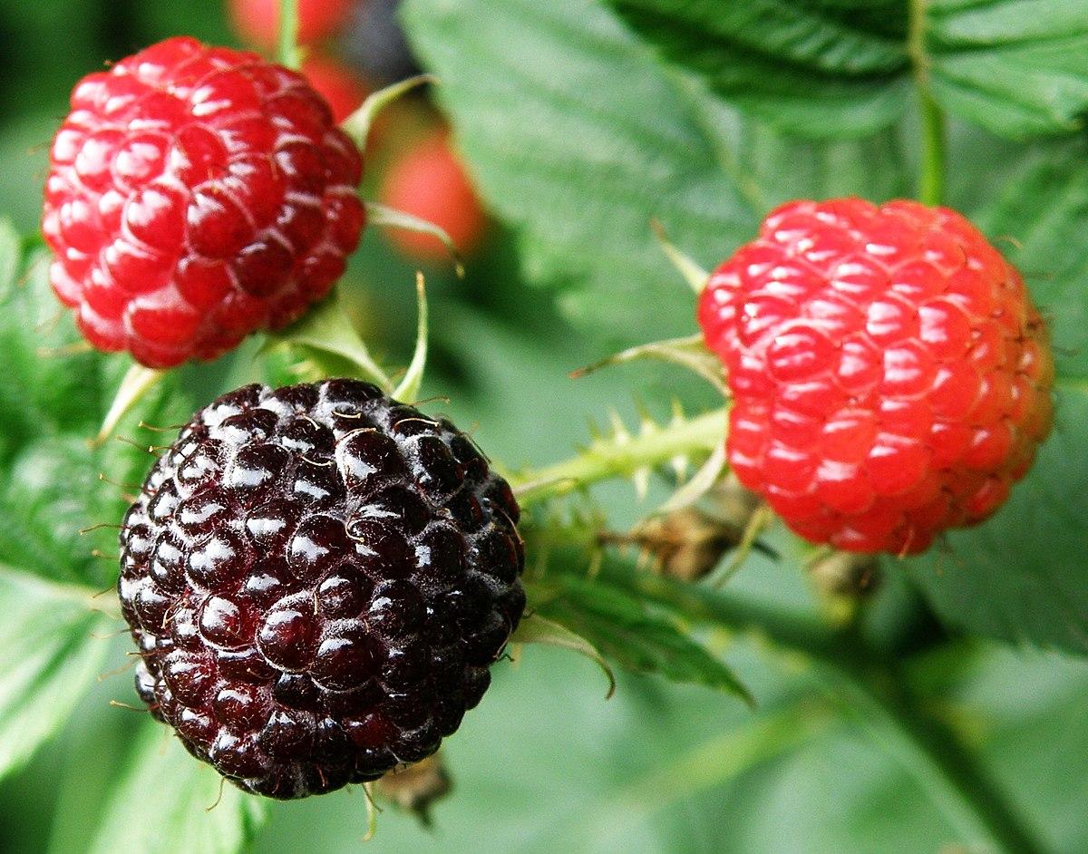 Black raspberry fruit