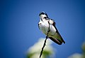 Ruffled Tree Swallow (7337740924).jpg
