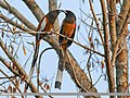 Rufous Treepie (Dendrocitta vagabunda) (25697215426).jpg