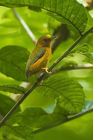 Rufous piculet - Image: Rufous piculet (Sasia abnormis)