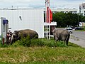 Słonie pod Intermarche - panoramio.jpg