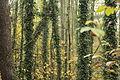 SChlossberg Neuhaus -Bäume mit Efeu bewachsen.JPG