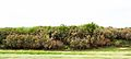Salix humboldtiana and Tessaria integrifolia.JPG